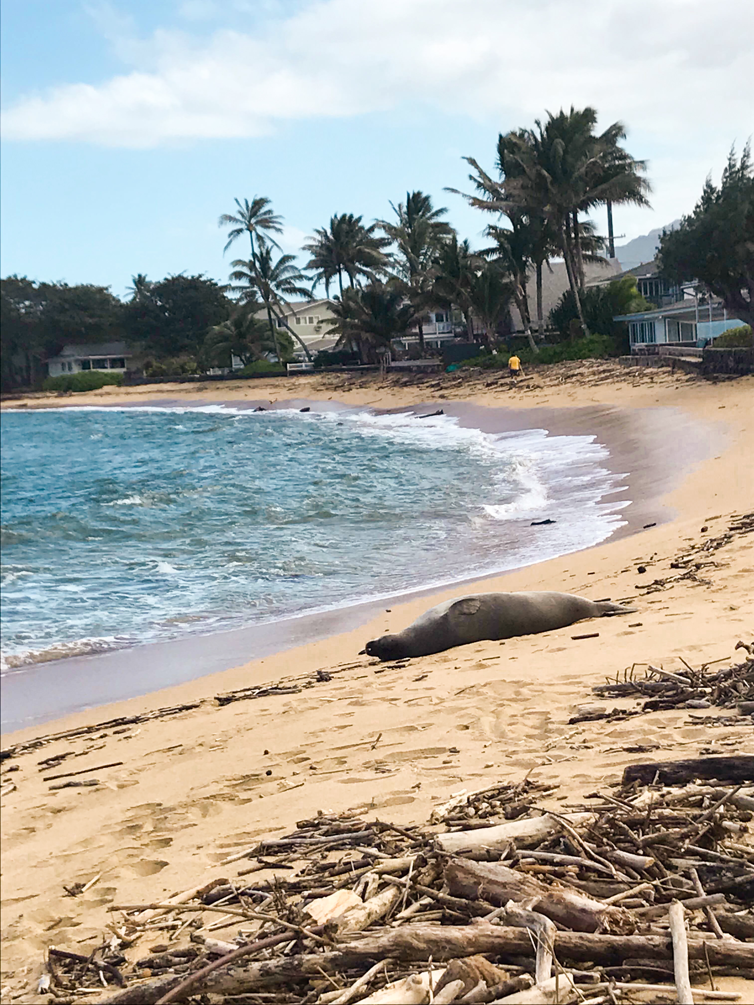 monk seal napping on the north shore
