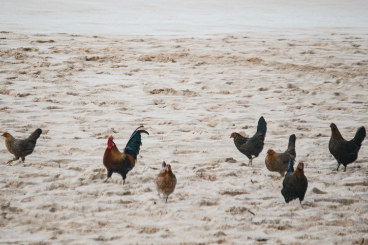 beach chickens